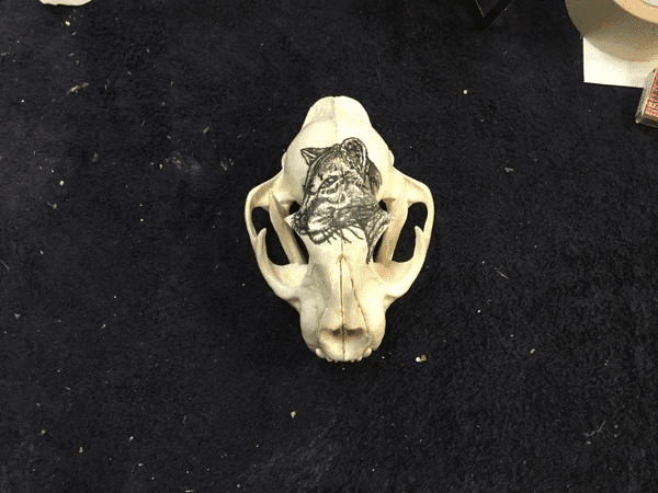 Hand Painted mountain lion on skull
